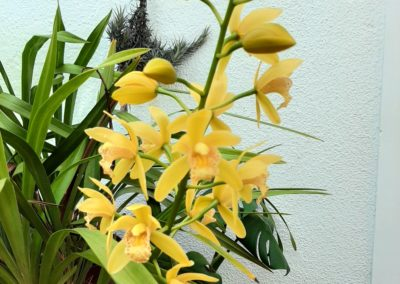 cymbidium orchid yellow
